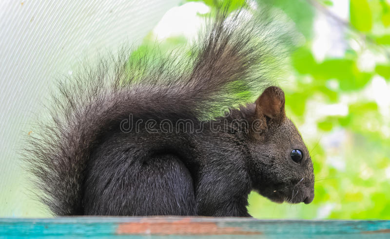 Squirrel. Black squirrel. Black squirrel in park on atree in the manger stock photo