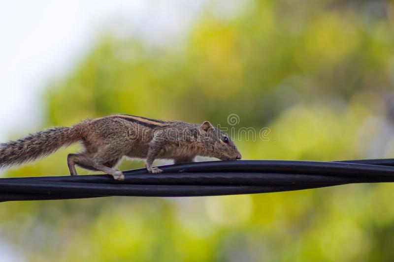 Squirrel on a black wire royalty free stock images