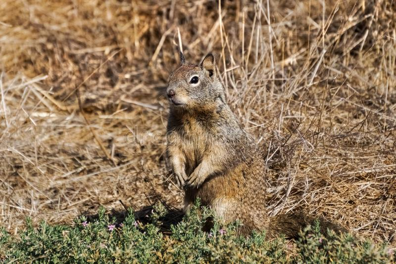 Squirrel blending in with the tall dry grass on the background, Alviso marsh, San Jose, south San Francisco bay, San Jose,. California stock image