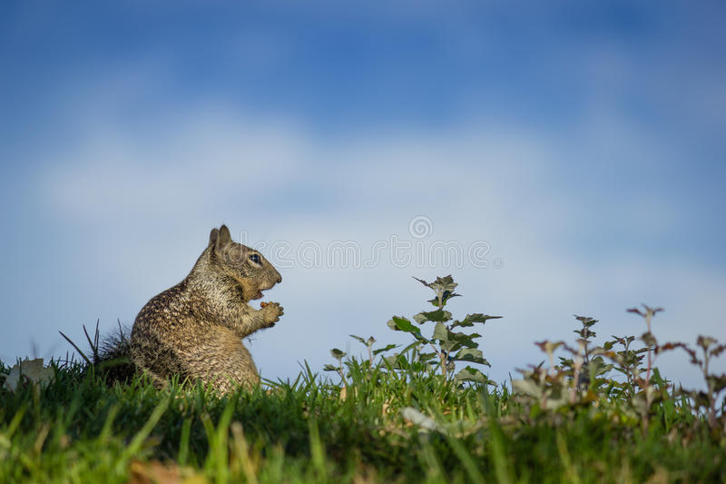 Download Squirrel Blissfully Eating stock photo. Image of happy - 33071644