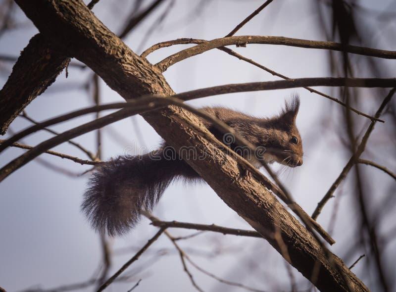 Squirrel on branch stock photos