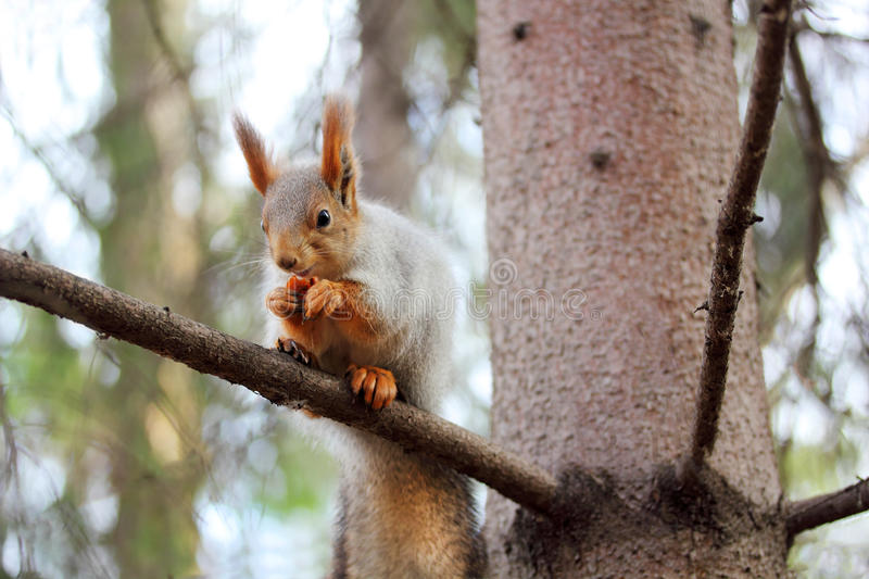 Download Squirrel On A Branch Of Pine Stock Photo - Image: 27492886