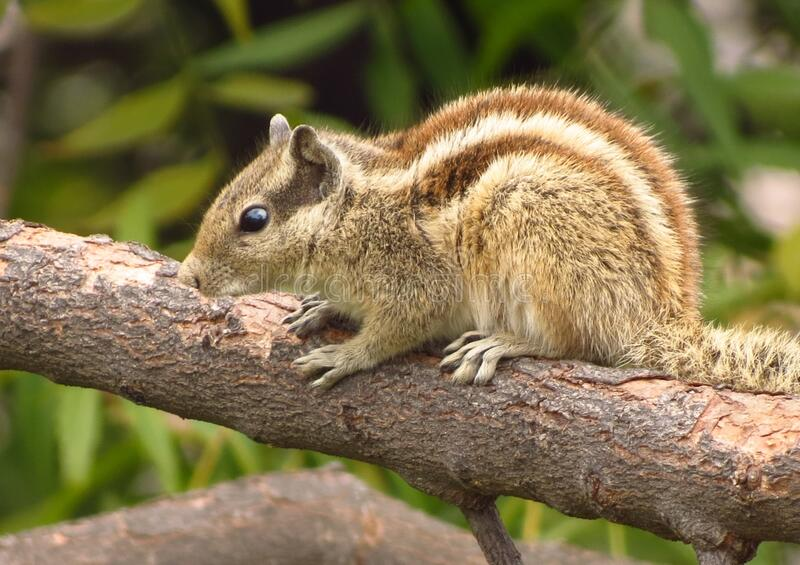 Squirrel on branch royalty free stock photos