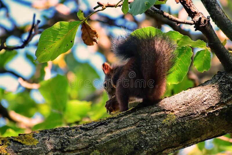 Squirrel at the branch stock image