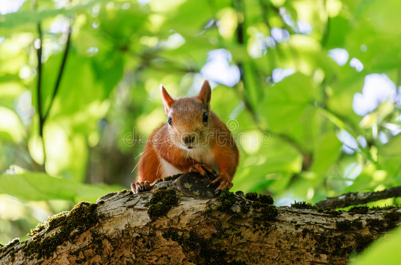 Squirrel on branch stock images