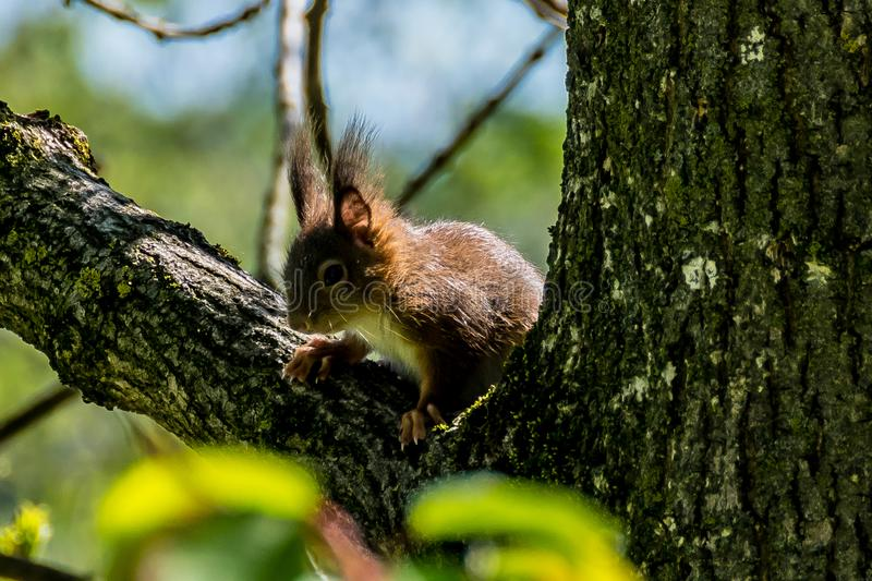 Squirrel on a branch royalty free stock photography