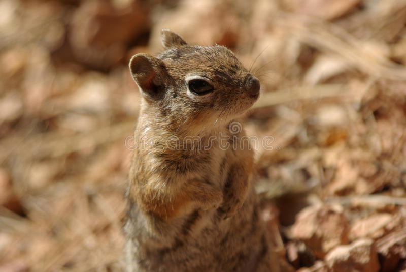 Download Squirrel in Bryce Canyon stock image. Image of animal - 26660257