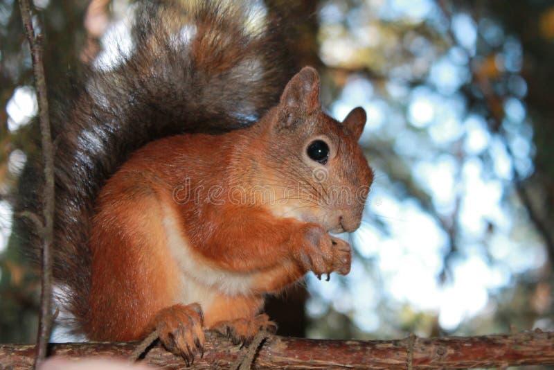 Squirrel,bun royalty free stock photos