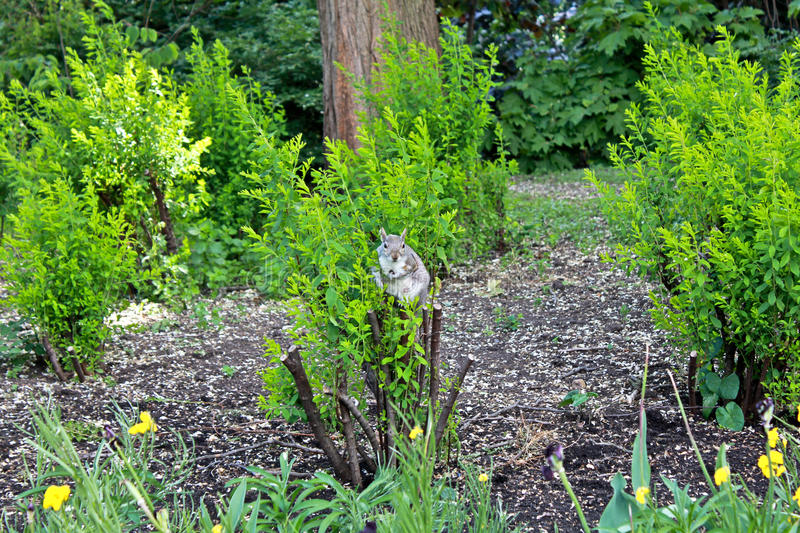 Squirrel on the bush royalty free stock photography