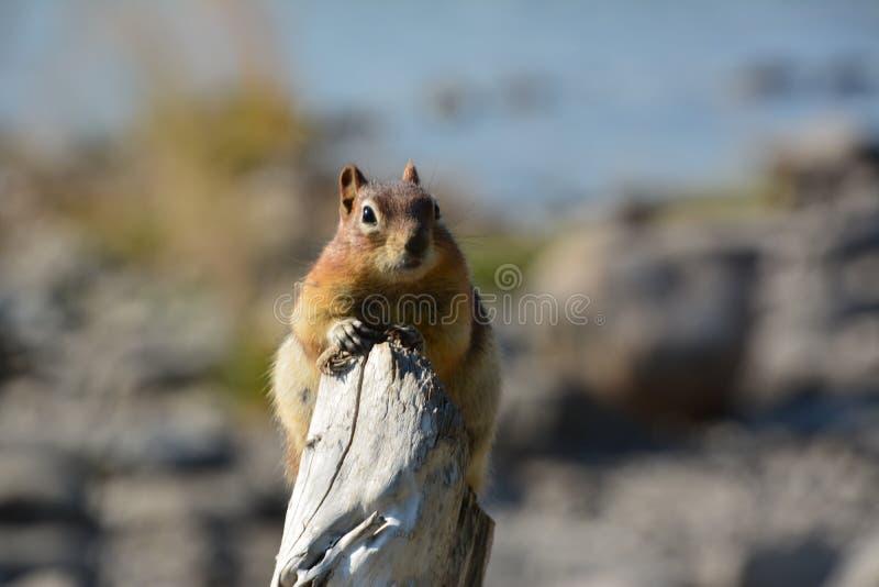 Squirrel Canada. Squirrel at Minnewanka Lake Canada royalty free stock image