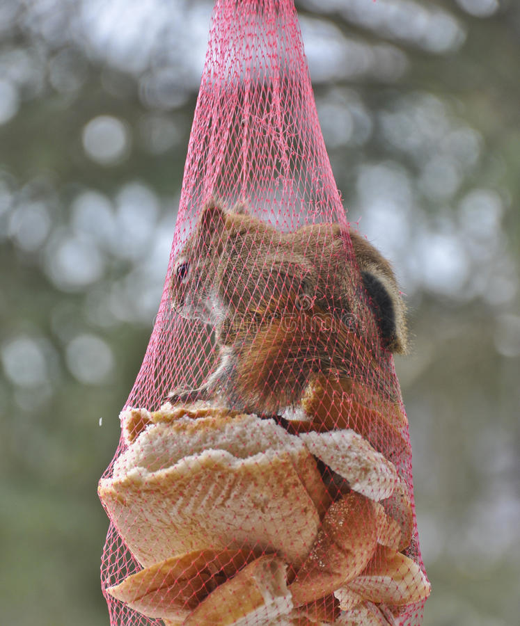 Squirrel Caught in Homemade Onion Bag Feeder