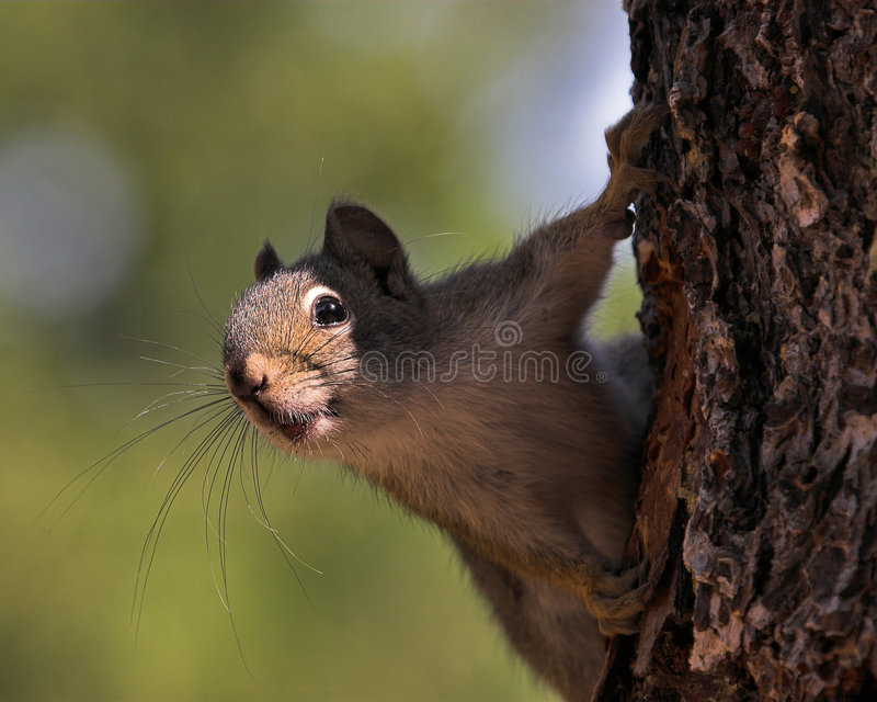 Download Squirrel climbing on tree stock image. Image of curiosity - 4018991