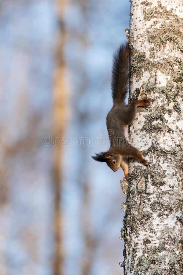 A squirrel climbs on a birch trunk stock images