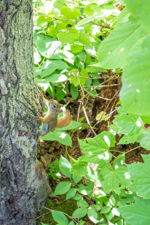 A squirrel clings to a tree trunk stock photos
