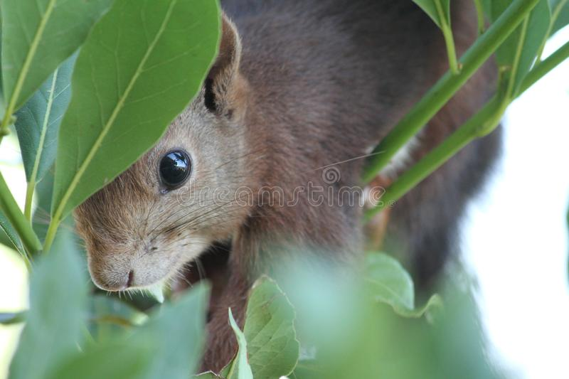 Squirrel close up royalty free stock image