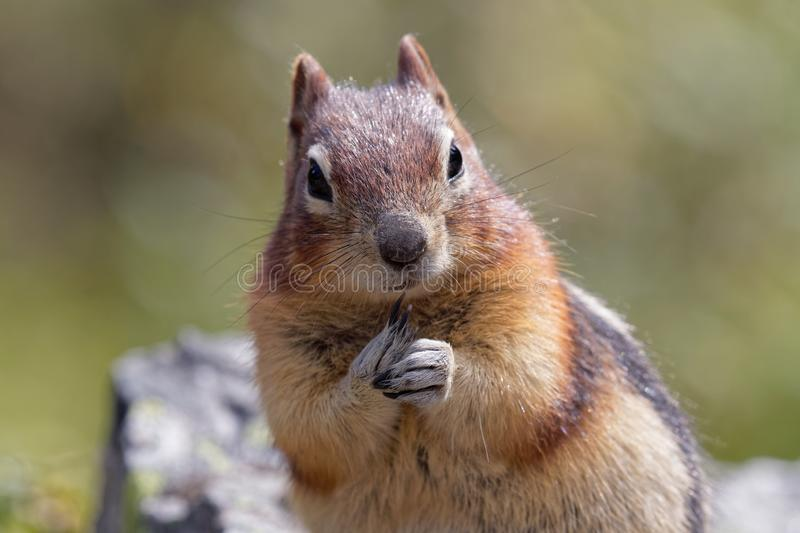Squirrel close up, Banff Canada royalty free stock photography