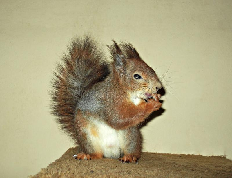 Squirrel close up licking his fingers stock photos