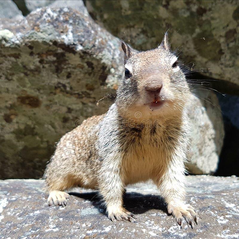Squirrel closeup stock image