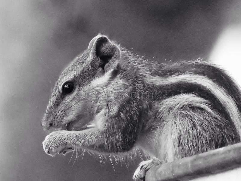 Squirrel comer imagens de stock royalty free
