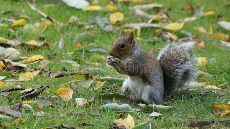 Squirrel comer a castanha no parque de Greenwich perto de Londres foto de stock