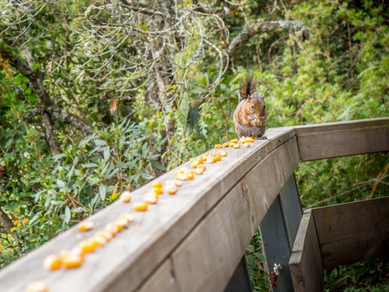 Squirrel comer o milho na varanda em Santa Helena, Colômbia imagem de stock royalty free