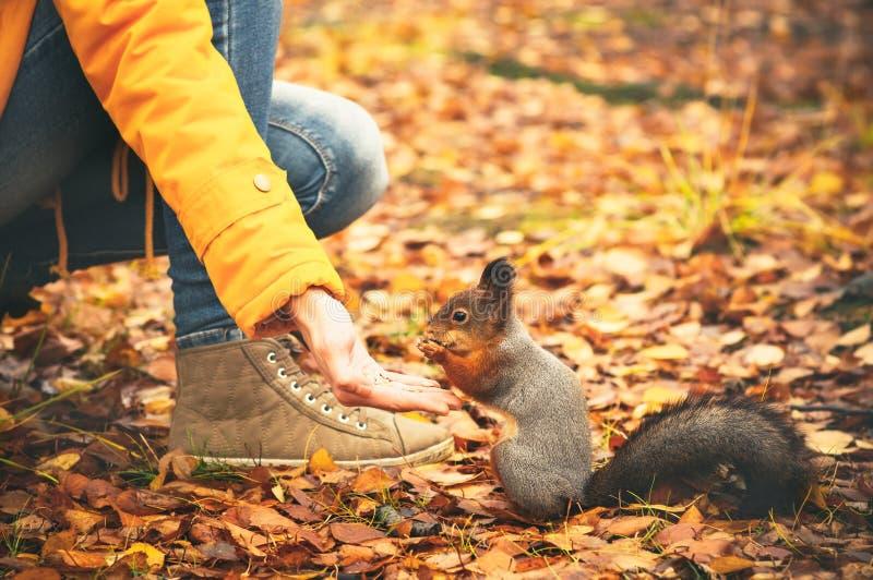 Squirrel comer porcas da mão da mulher e das folhas de outono na natureza selvagem do fundo fotografia de stock royalty free