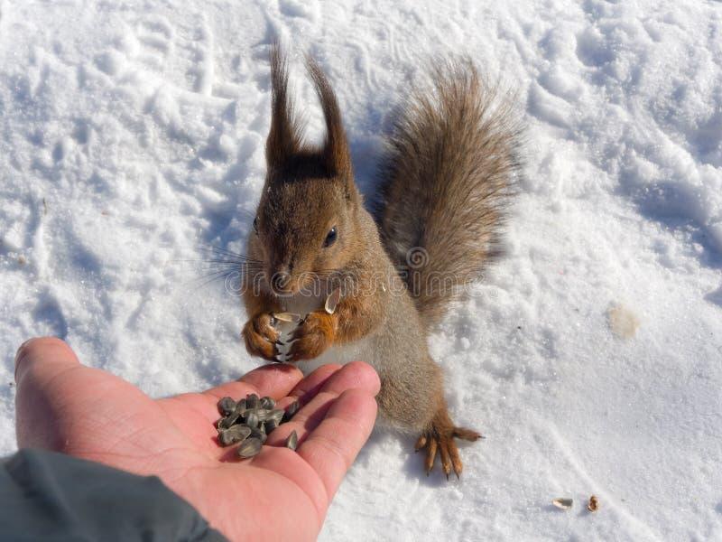 Download Esquilo que come sementes foto de stock. Imagem de wildlife - 29838194