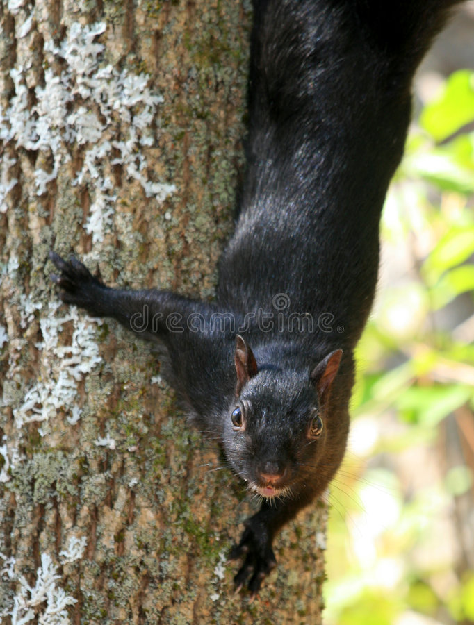 Squirrel Coming Down Tree royalty free stock photos