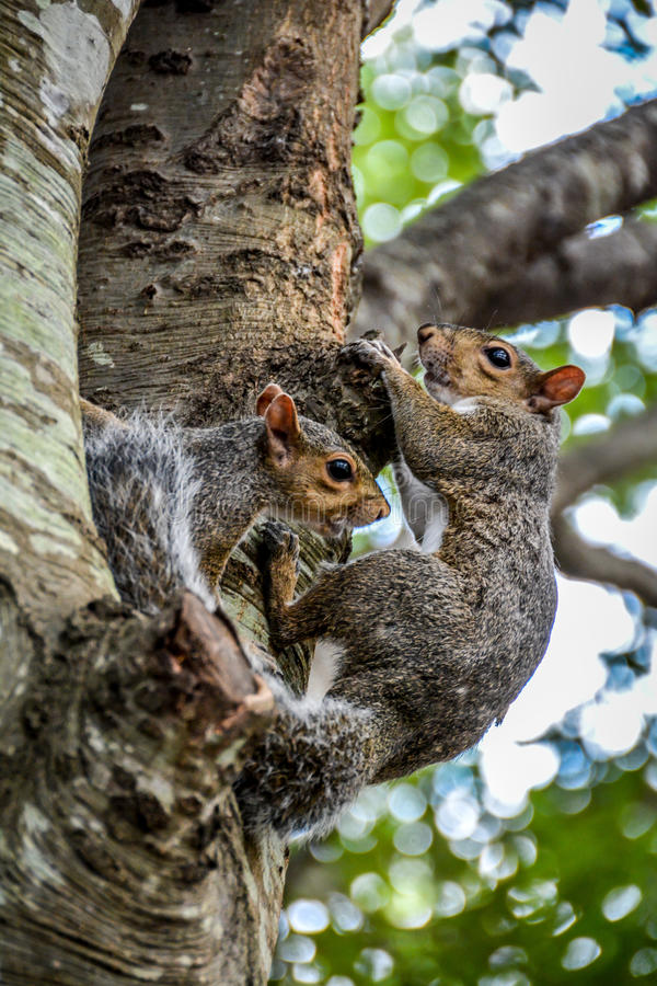 Squirrel couple stock images