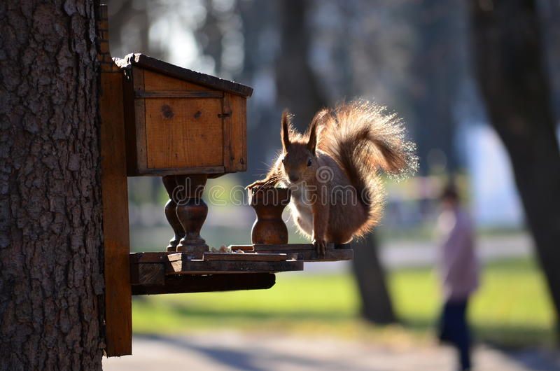 Squirrel. Cute plush squirrel eating nuts on the tree royalty free stock photo