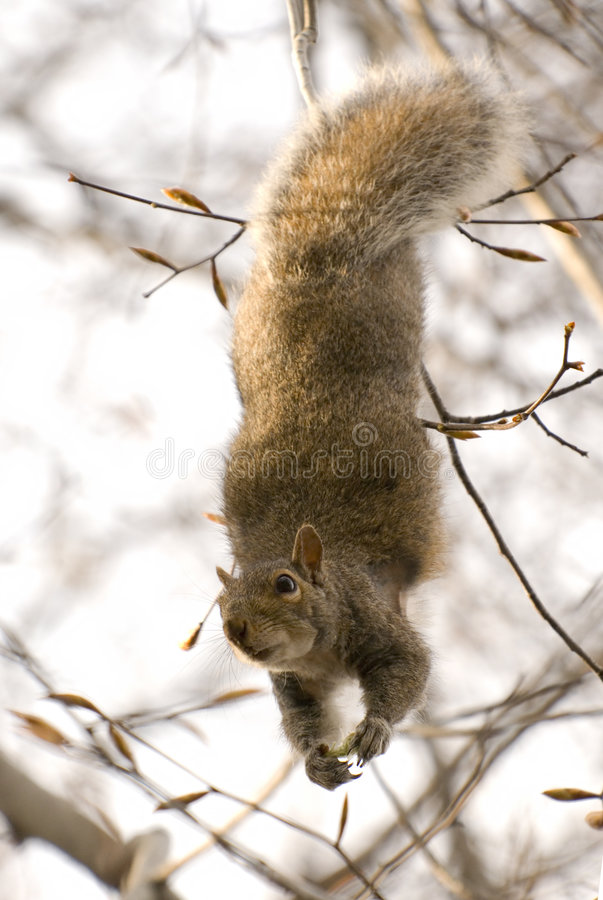 Download Squirrel Dangling From A Branch Stock Image - Image: 6752291