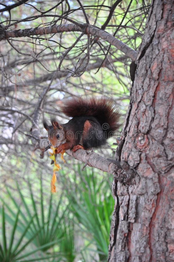 Squirrel das Essen stockfotos