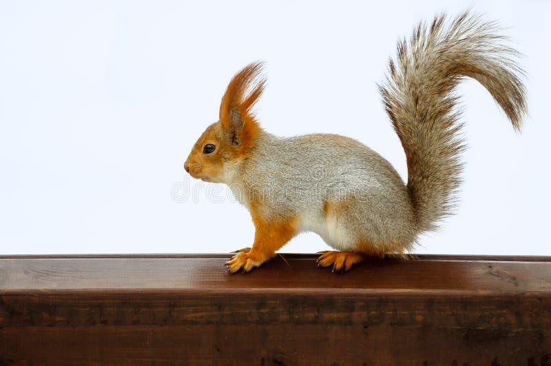 Squirrel on desk stock image