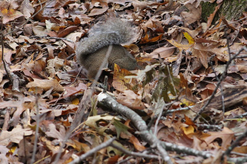 Squirrel digging for acorns royalty free stock photography