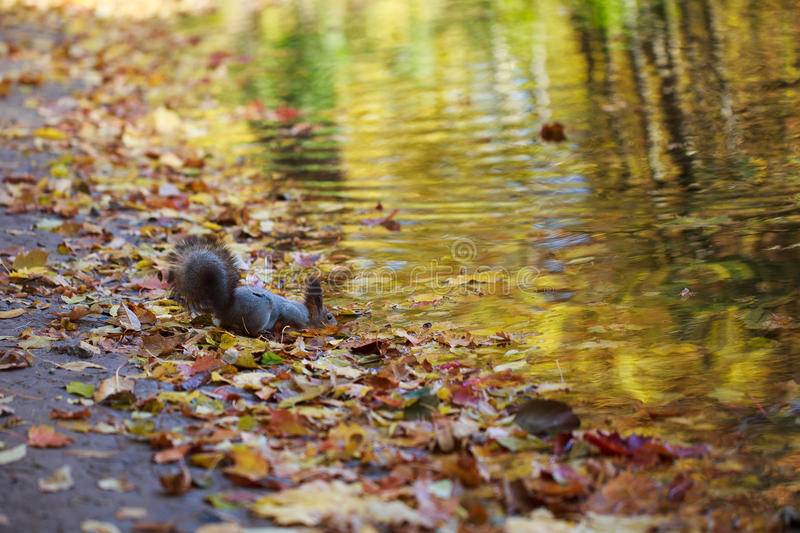Squirrel drinking water from the river. stock images