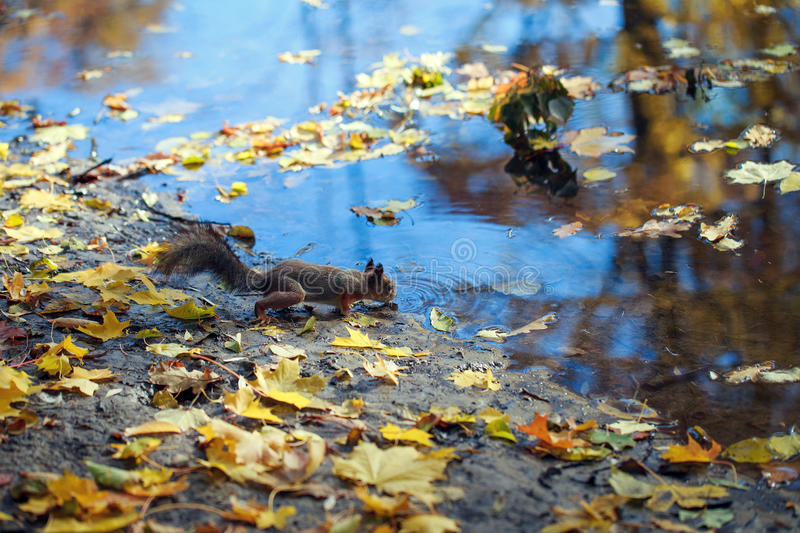 Squirrel drinking water from the river. stock photos