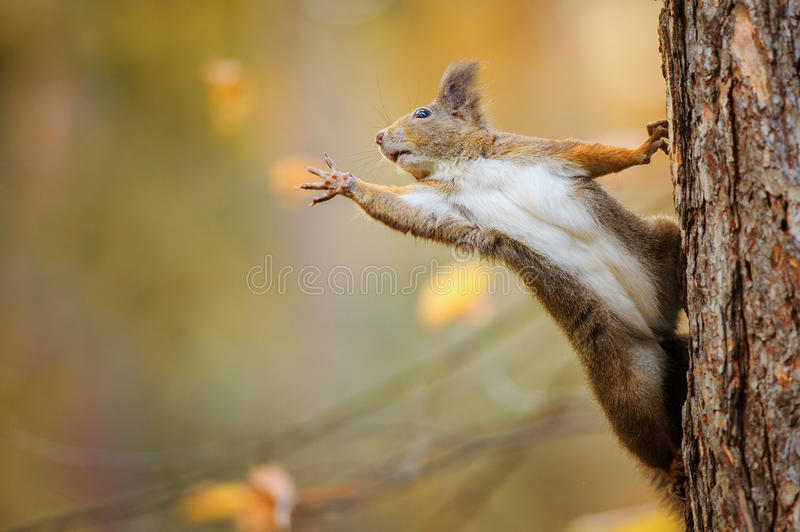 Squirrel eagerly reaching for what she want most. Cute red squirrel on the tree trunk eagerly reaching for what she want most by her paws royalty free stock images