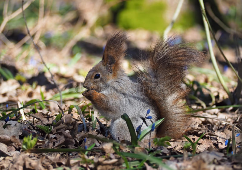 Squirrel eaing the nut at hands at the blue flowers at fore royalty free stock images