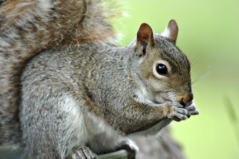 Squirrel Eating. Alert eastern grey squirrel eating royalty free stock images