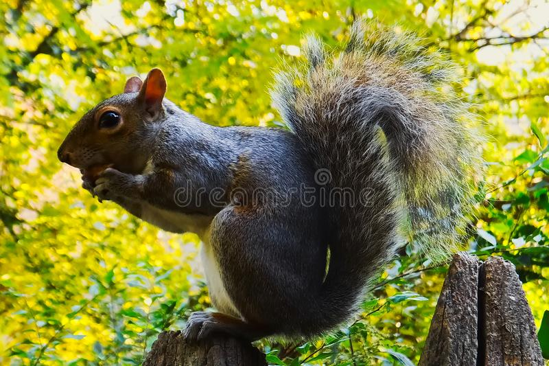 Squirrel eating an acorn on a wood pole. Squirrel with big tail eatin an acorn on a wood pole, against a green leaves background stock image