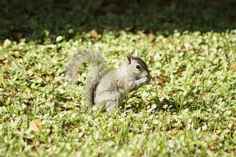 Squirrel eating in backyard. Squirrel posed long enough for a snapshot royalty free stock photography