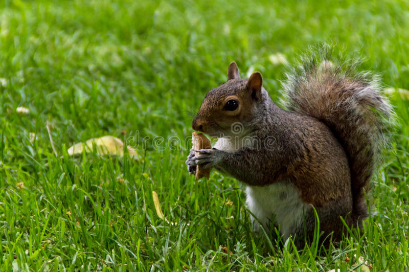 Squirrel eating bread stock photo