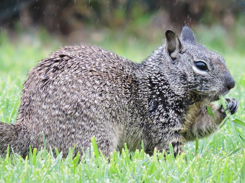 Squirrel Eating Grass While It`s Raining royalty free stock photography
