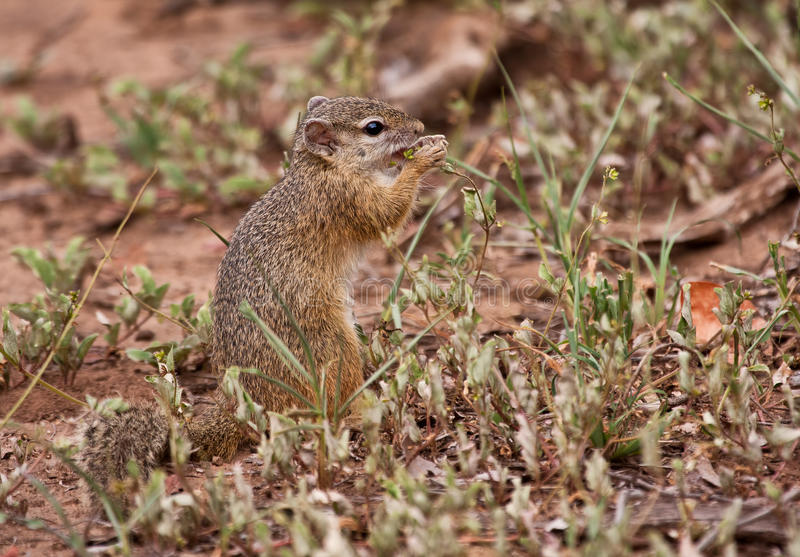 Squirrel Eating Grass Seeds Royalty Free Stock Image