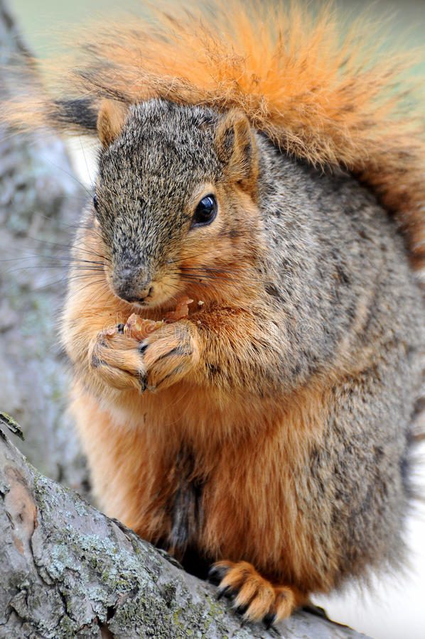 Free Squirrel Eating In Closeup Stock Images - 18945854