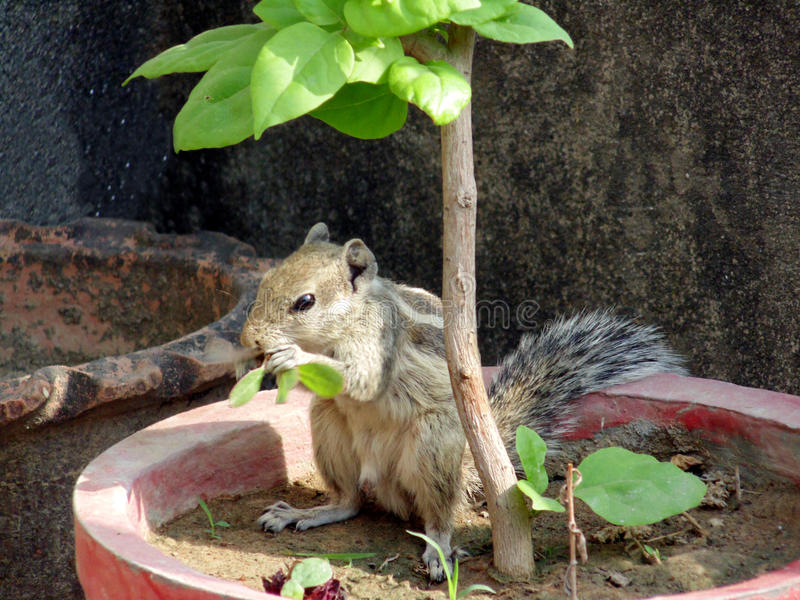 Squirrel Eating Leaves. Squirrel Eating Green Leaves Under a Plant. Closeup Shot royalty free stock photography