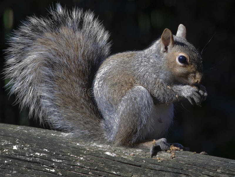 Download Squirrel. stock image. Image of claw, squirrel, fluffy - 31951313