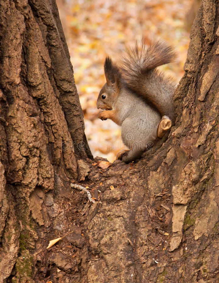 Download Squirrel eating a nut. stock photo. Image of vulgaris - 21921488