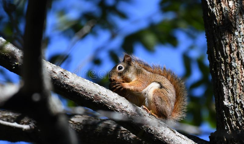 Squirrel eating a nut on a branch royalty free stock photos