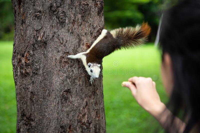 Squirrel eating nut out of little child girl hand,squirrel hungry on tree trunk in nature,asian girl feeding wild animals in stock photography